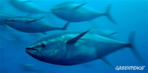 bluefin tuna greenpeace